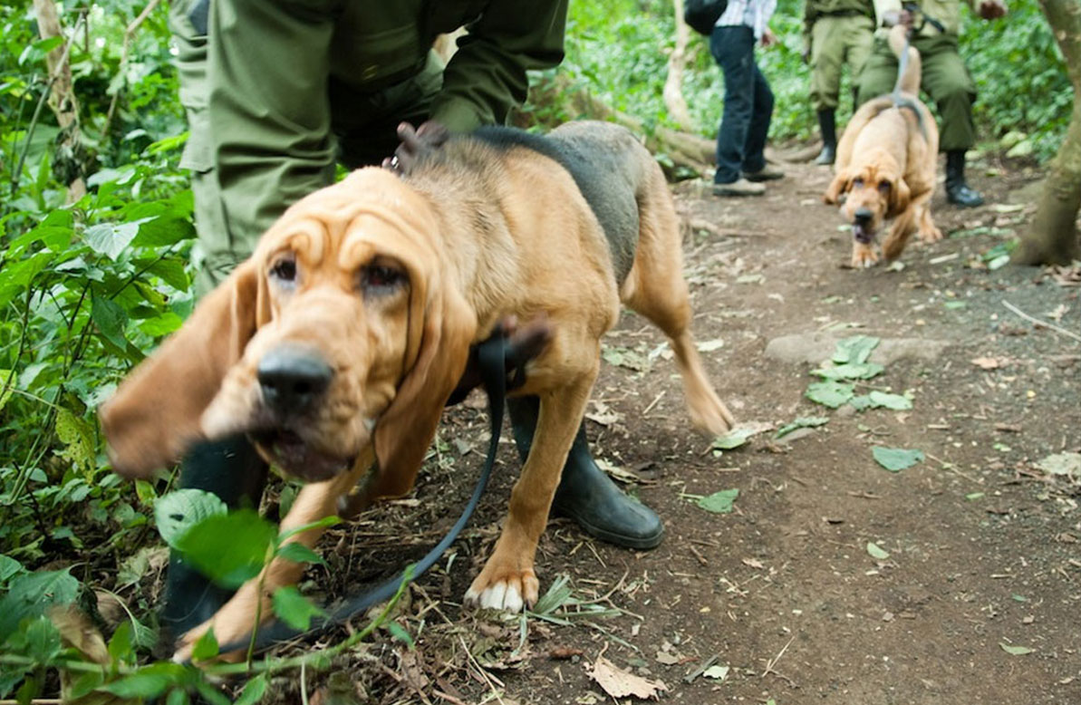 Virunga Park - walk with the Bloodhounds